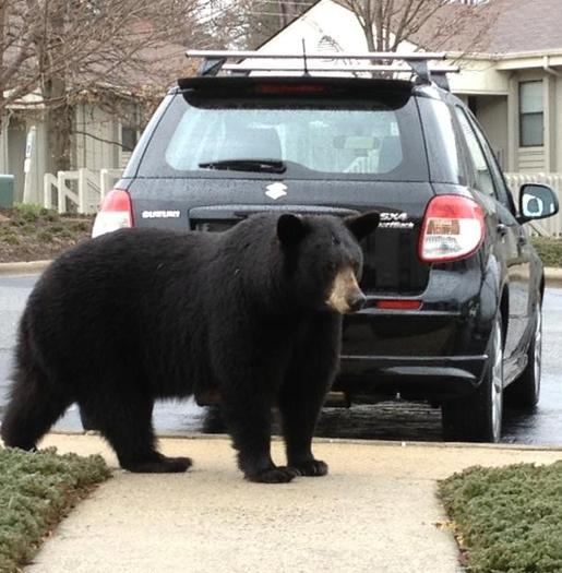 PHOTO: Hungry black bears will go just about anywhere to find acorns. This one was spotted in an East Asheville community. Courtesy Paperblog.com