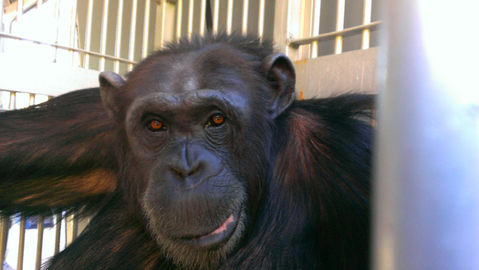 "Photo: ""Terry"" now lives at the Save the Chimps Sanctuary in Fort Pierce. Courtesy: Save the Chimps"
