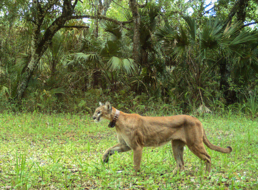 Photo: There are 100 to 160 panthers left in Florida. Courtesy: US Fish and Wildlife Service Trail Camera Project