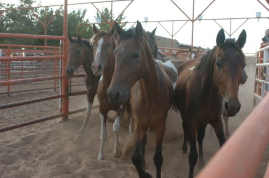 PHOTO: A court action is stopping a New Mexico company from opening its horse slaughterhouse, at least temporarily. Photo courtesy HSUS.