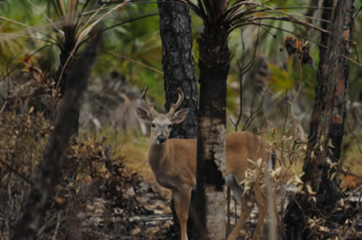 PHOTO: A new National Wildlife Federation report outlines how climate change is affecting big game, making a connection between a bleeding disease and deer in Virginia. Photo credit: U.S. Forest Service