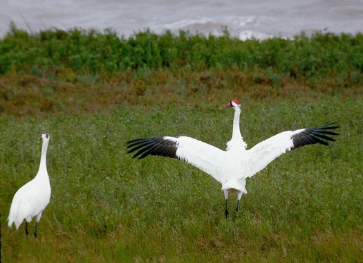 PHOTO: A flock of around 300 whooping cranes is now returning to Texas for the winter after flying in from summer breeding grounds in Canada. CREDIT: Texas Parks and Wildlife