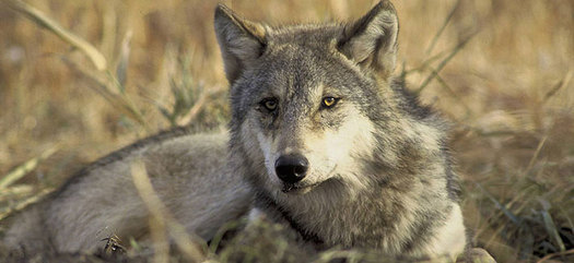 PHOTO: The U-S Fish and Wildlife Department's Mexican Gray Wolf Recovery Program uses 30-year-old science, according to Mary Katherine Ray with the Sierra Club Rio Grande Chapter. Image courtesy of U-S Fish and Wildlife.