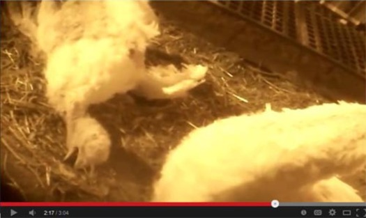 PHOTO: A western Minnesota turkey farm is facing allegations of animal cruelty, after the release of an undercover video filmed at the operation by an animal rights group. Photo credit: Compassion Over Killing.