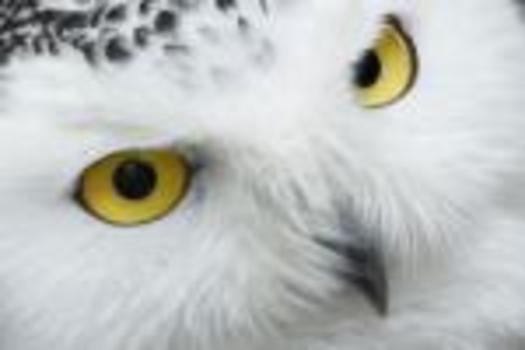 PHOTO: Snowy Owls are being spotted in larger numbers in Pennsylvania. Photo credit: Public Domain Pictures.