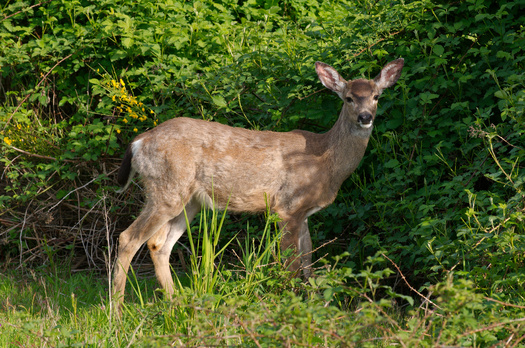 PHOTO: Some conservationists are warning that the increasing deer population is having a profound impact on the ecosystem, even changing the composition and structure of forests. Photo credit: Dcoetzee, via Wikimedia Commons.