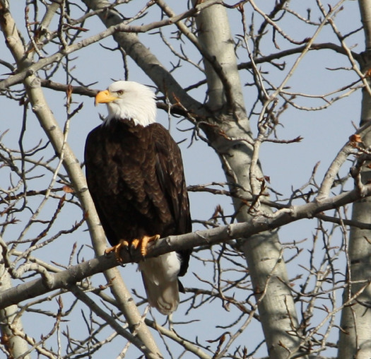 PHOTO: The bald eagle is listed as one of 10 success stories in a report that looks at the Endangered Species Act as it turns 40 this month. Photo credit: Deborah C. Smith