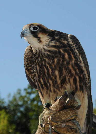 PHOTO: The peregrine falcon is among the success stories highlighted in a report marking the 40th Anniversary of the Endangered Species Act. Credit: U.S. Fish and Wildlife Service/Frank Doyle.