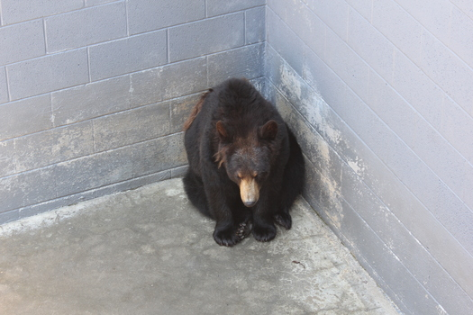 PHOTO: A bear at a roadside zoo, this one in North Carolina, in a barren cage. The group PETA is asking the USDA to enforce humane standards for bears in captivity. Photo courtesy PETA.