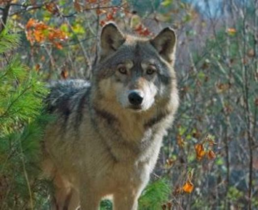 PHOTO: After a controversial bill passed in the Michigan Legislature, 2013 marks the first year wolves have been hunted in the upper peninsula. Whether that hunt will continue could be up to voters in Nov. 2014. Photo courtesy Keep Michigan Wolves Protected.