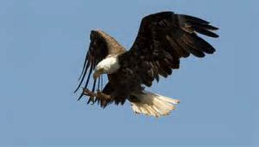 PHOTO: Bald eagles are dying in Utah from eating dead birds infected with West Nile Virus, according to an official with the state Division of Wildlife Resources. Photo courtesy of the U-S Fish and Wildlife Service.
