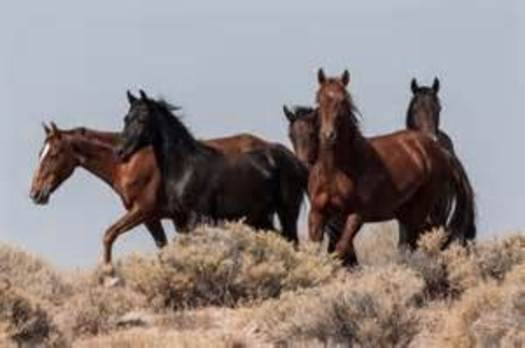 PHOTO: Owning a horse that once roamed the Nevada range is possible through a state adoption program. Photo courtesy Bureau of Land Management.