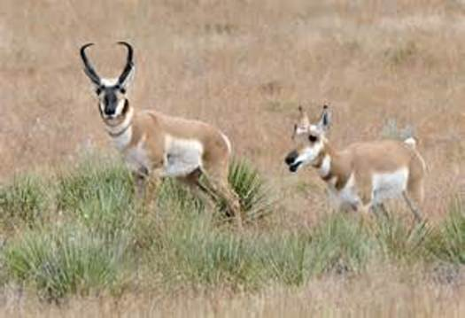 PHOTO: In a unique exchange, New Mexico is sending some pronghorn to Arizona for some of the Grand Canyon State's Gould's turkeys. Photo credit: New Mexico Dept. of Game and Fish.