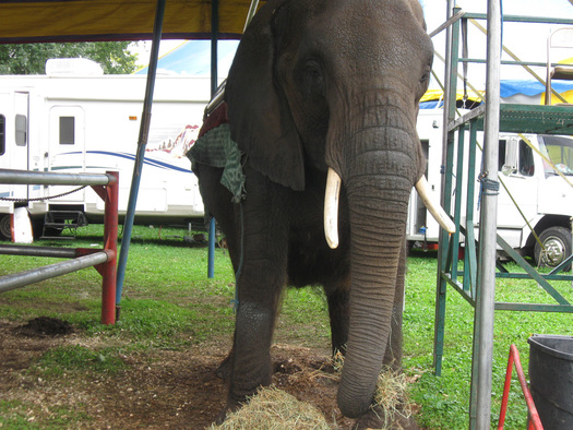 """PHOTO: """"Nosey"""" the elephant is not treated humanely in her job with a Florida-based circus, according to the animal welfare group PETA. Photo courtesy PETA."""