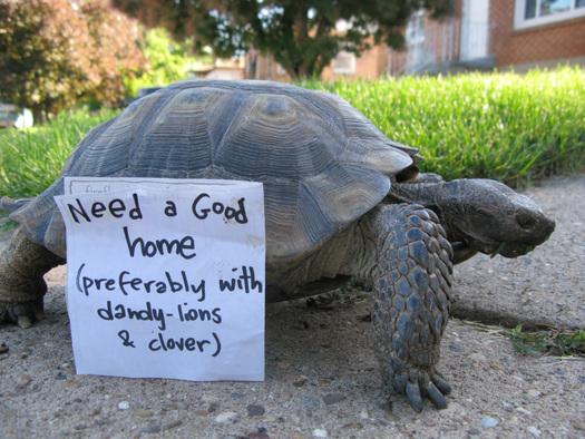Utahs Threatened Desert Tortoises Can Be Adopted / Public