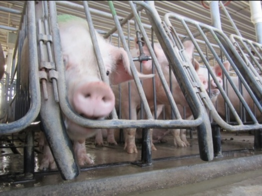 PHOTO:  Wendy�s is demanding quarterly reports from pork suppliers about their ability to provide pork produced without the use of gestation crates. Photo credit: Humane Society of the United States.