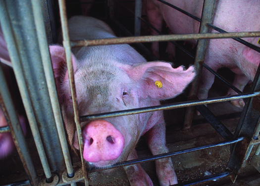 Photo: HSUS and other groups argue the use of gestation crates in pork production is inhumane. Courtesy: HSUS