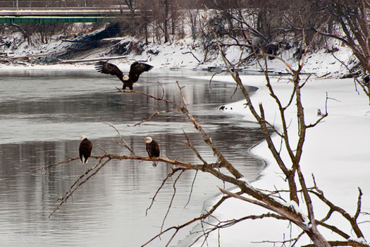 PHOTO: A hog operation in southeast Iowa has been fined $10,000 and ordered to make repairs after a November manure spill into a tributary of the Des Moines River. Photo Credit: Carl Wycoff
