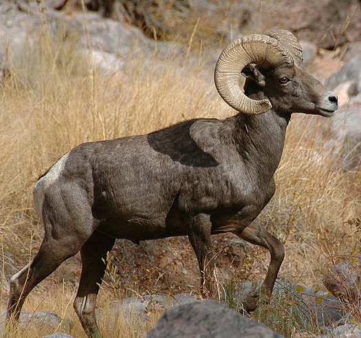 Pneumonia Threatens Nevadas Desert Bighorn Sheep Public News Service