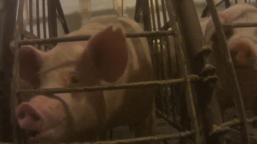 PHOTO: A hog farm in Owensboro was the site of an undercover investigation by the Humane Society of the United States alleging mistreatment of animals. Photo courtesy HSUS.