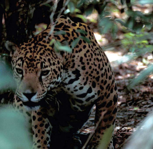 a study of endangered species of jaguars Jaguar (panthera onca)  panama, paraguay, suriname, the united states (where it is listed as endangered under the endangered species act),  let alone study.