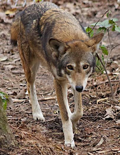 March madness report highlights nc red wolves public news service