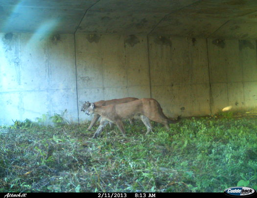 Photo: Panthers are visible in parts of southwest Florida, even under highway overpasses. Courtesy: FGCU Panther Posse