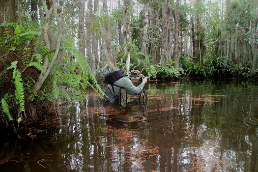 PHOTO: Wetland areas around Florida, such as cypress domes in the Florida Everglades, will see greater protection if the rules are put in place. Courtesy: Miguel Leyva