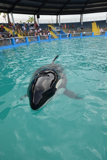 "PHOTO: Today is the last chance for public comments regarding ""Lolita's"" release, after performing for more than 40 years at the Miami Seaquarium. Photo courtesy Animal Welfare Institute."