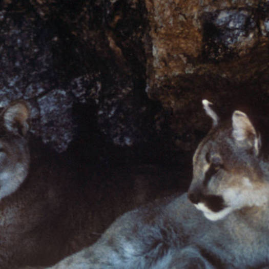 PHOTO: Senate Bill 3049 would add wolves, mountain lions and black bears to the Illinois Wildlife Code, giving them protected status. Photo credit: U.S. Fish and Wildlife Service.