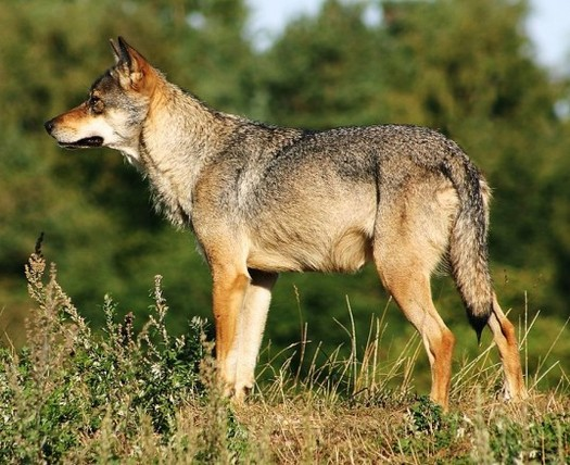 PHOTO: The California Fish and Game Commission is considering whether to protect gray wolves under the California Endangered Species Act. A decision may be announced when the commission meets in Ventura on Wednesday. Photo credit: U.S. Fish and Wildlife Service.
