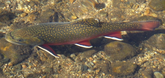 PHOTO: Opponents of HB1576 warn it could be detrimental to species like the brook trout, by changing the way wild brook trout streams are designated in the Commonwealth. Photo credit: Daniel Mayer on Wikimedia Commons.