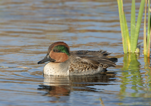 PHOTO: The green-winged teal is a duck commonly spotted in Washington, but not lately. In the spring, more than half of them head north to the boreal forest to breed. Photo credit: Jeff Nadler