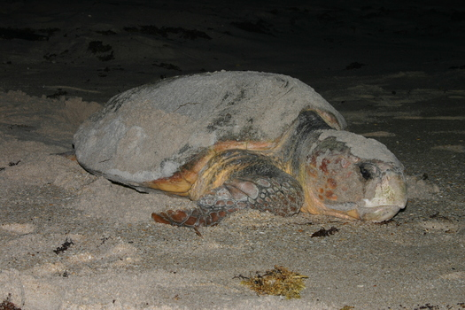 PHOTO: A report released today by the National Wildlife Federation outlines how young critters, such as sea turtles in Virginia, are facing new challenges because of climate change. Photo credit: NOAA