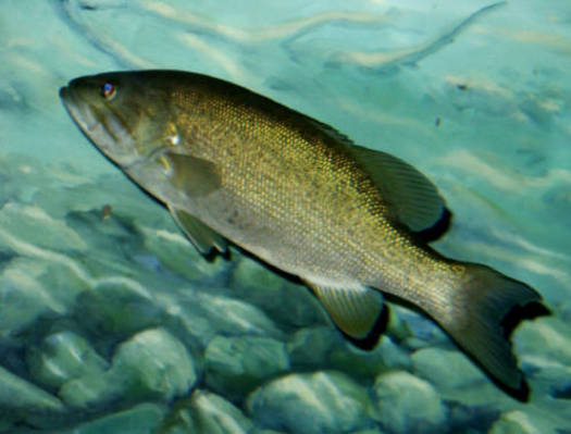 PHOTO: Smallmouth bass are among the Michigan wildlife species at risk because of climate change, because fertilized eggs may not get enough dissolved oxygen in warmer waters, according to a new report from the National Wildlife Federation. Photo credit: U.S. Fish and Wildlife Service.