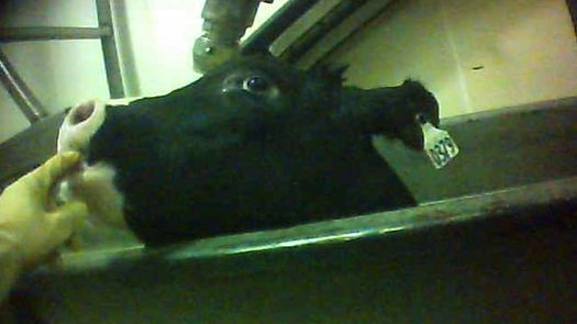 PHOTO: This photo of a downer calf is part of an undercover investigation of a veal slaughter plant in Shrewsbury, N.J. Photo courtesy Humane Society of the United States.