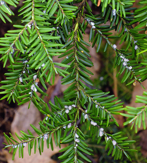 PHOTO: The tiny white pests are the Hemlock Woolly Adelgid, which can devastate entire stands of hemlock and are jeopardizing the health of Pennsylvania's state tree. Photo credit: Nicholas Tonelli/Wikimedia Commons