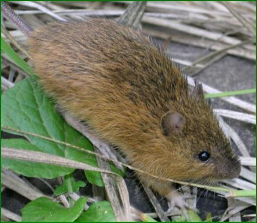 PHOTO: Conservation groups are urging government agencies to work quickly to protect the habitat of the New Mexico meadow jumping mouse, which also lives in Arizona, and is now officially listed an endangered species. Photo courtesy of the U.S. Fish and Wildlife Service.