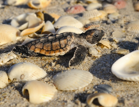 PHOTO: Tiny green turtles are among the hundreds of turtle babies that hatch every year on Florida beaches. June is prime nesting season for sea turtles. Photo courtesy Sea Turtle Conservancy.