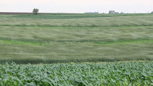 PHOTO: A rye field at the Tim & Ethel Sieren farm in Iowa. CREDIT: Practical Farmers of Iowa.