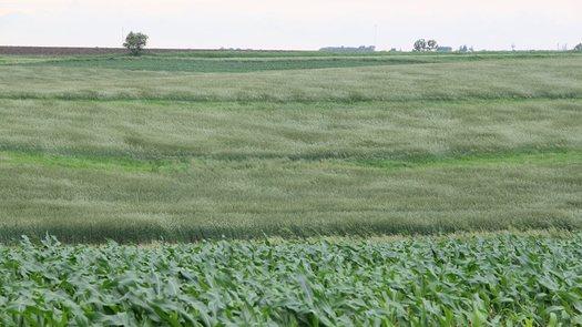 PHOTO: A rye field at the Tim & Ethel Sieren farm in Iowa. CREDIT: Practical Farmers of Iowa.