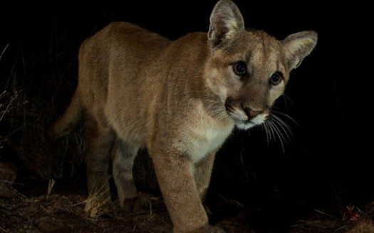 PHOTO: A juvenile mountain lion in the Santa Monica Mountains near Malibu Creek State Park. A wildlife crossing has been proposed along the 101 freeway near Agoura Hills, where the route crosses a major wildlife corridor between the Simi Hills and Santa Monica Mountains. Photo credit: National Park Service.