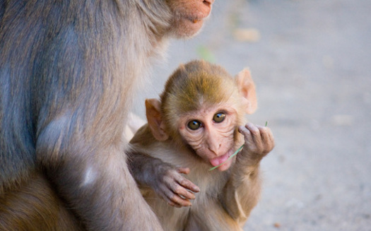 PHOTO: The alleged secrecy behind a proposed monkey breeding facility has some residents of Hendry County concerned for public safety. A lawsuit filed by residents who claim they were left out of the decision-making process is now moving forward. Photo Credit: Garret Ziegler.