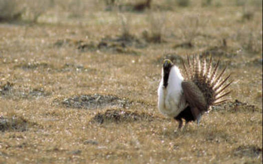 The greater sage-grouse will not be listed under the Endangered Species Act. Courtesy: U.S. Fish and Wildlife Service