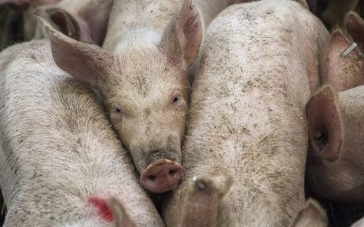 Iowa's pig and hog population is more than 22 million according to the USDA – more than double the state's nearest pork production rival, North Carolina. (afnewsagency/Pixabay)