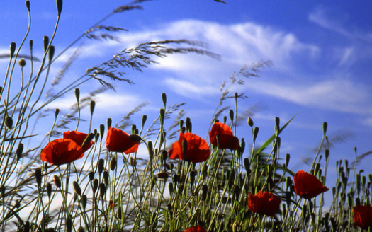 The red poppy has become a familiar emblem of Armistice Day, which was renamed Veterans Day in 1954, as a day for celebrating peace. (belkin59/Flickr)
