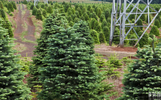 In Florida, the Spruce, Sand and Virginia Pine, plus Red Cedar, Arizona Cypress and Leyland Cypress, all are grown for use as Christmas trees, according to the Florida Christmas Tree Assn. (Ian Sane/Flickr)