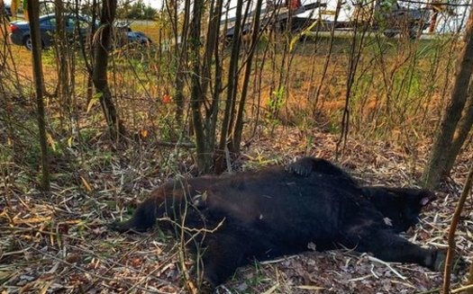 A 600-pound bear died from a car collision east of Plymouth, N.C., this week. Law enforcement officials say the driver was unharmed. (Tom Harrison/NCBearFest.com)