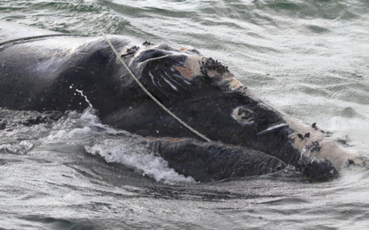 North Atlantic right whales get caught in lobster and crab fishing lines, preventing them from swimming, diving or feeding normally. (Photo courtesy NOAA)