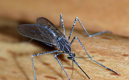 State health officials say in addition to wearing proper clothing and using repellent, Massachusetts residents should take steps to keep mosquitoes away from in and around the home. (Alvesgaspar/Wikipedia)